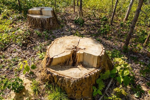 숲에서 자작 나무 그 루터 기