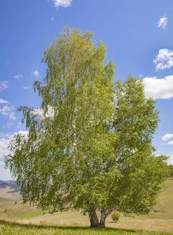 青空に映える白樺の木、さわやかな春の紅葉