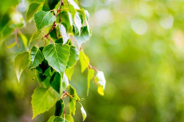 春または夏に新鮮な葉を持つ白樺の木の枝。白樺の明るい緑の葉の背景。テキストのスペースをコピー