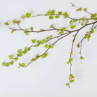 Birch tree branch with fresh leaves in spring