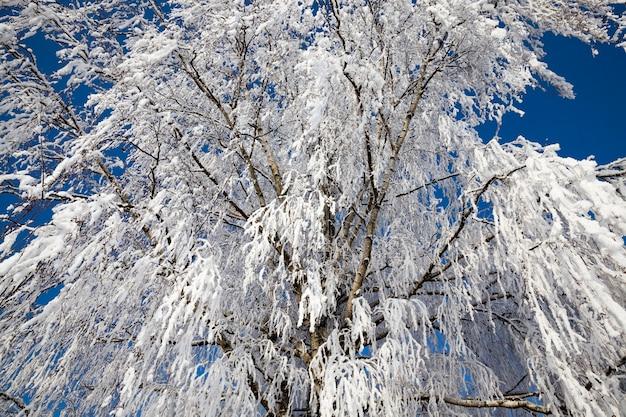 雪の白いフレークで覆われた白樺の木の枝