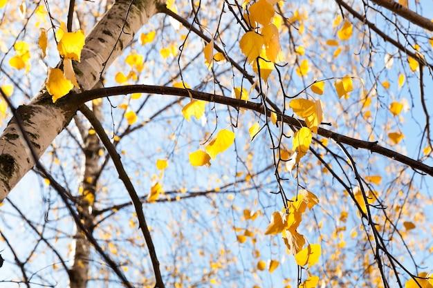 秋の白樺の木