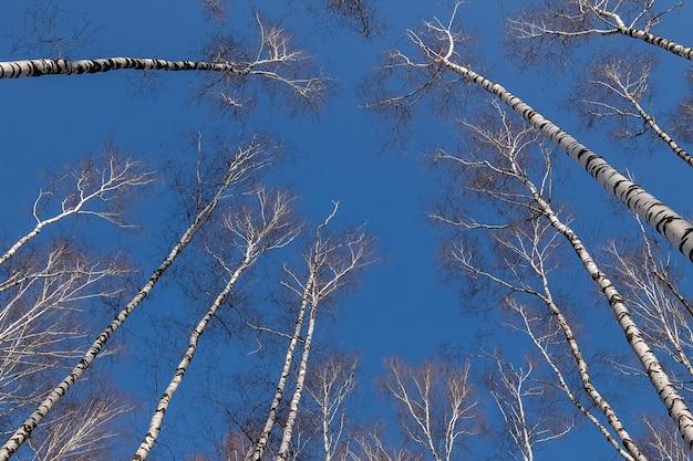 이른 봄 공원 푸른 하늘에 자작나무