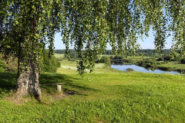 川岸の丘の上の白樺の木