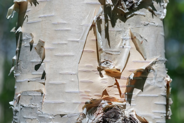 Birch tree trunk close-up on summer background on sunny day. natural wild environmental concept.