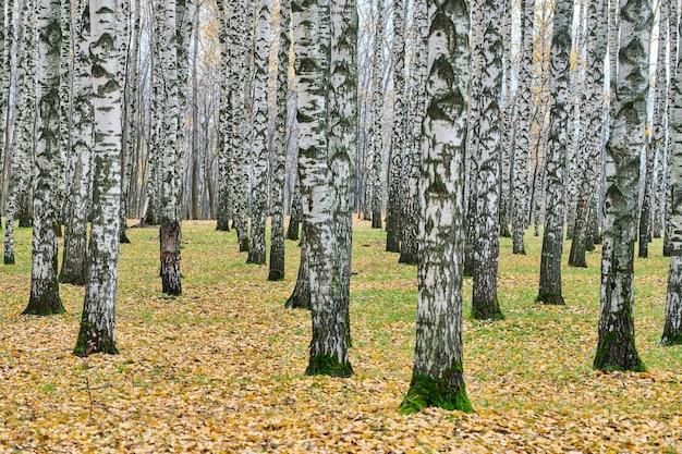 都市公園の白樺の木の幹