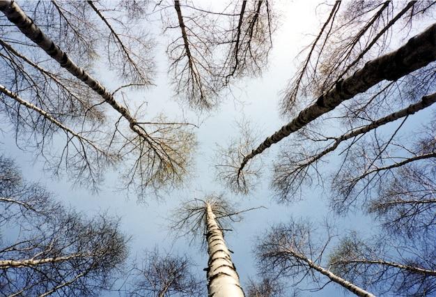 白樺の木の背景