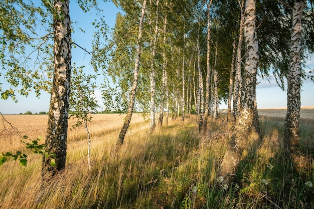 Birch trees in the evening in summer against the background of grain field