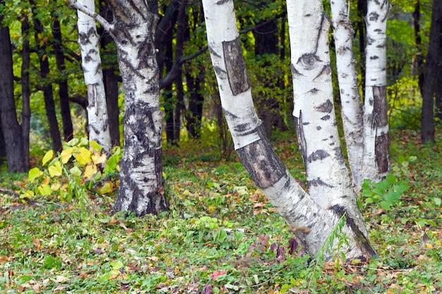 가을 도시 공원의 자작나무