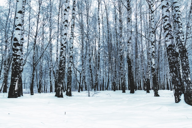 Birch trees in the winter city park