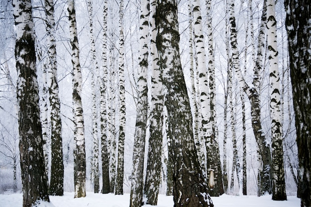 Birch trees in the winter park