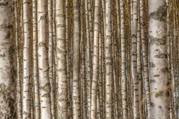 Birch trees with fresh green leaves in autumn. sweden, selective focus
