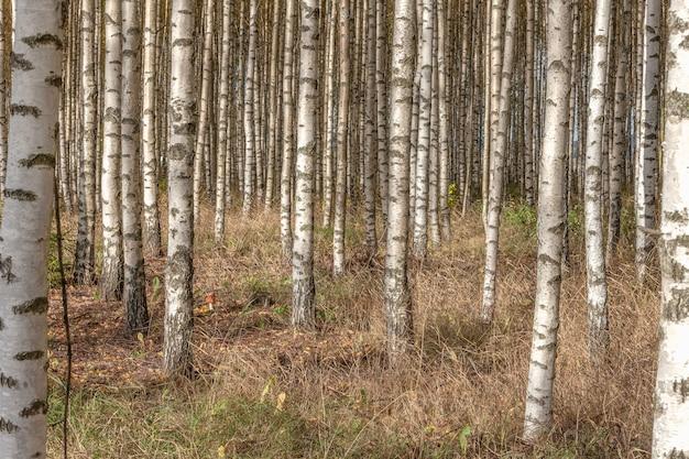 秋の新緑の葉と白樺の木