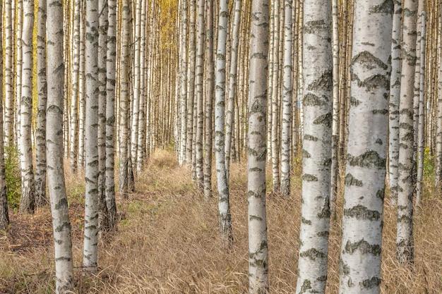 가을에 신선한 녹색 잎을 가진 자작 나무