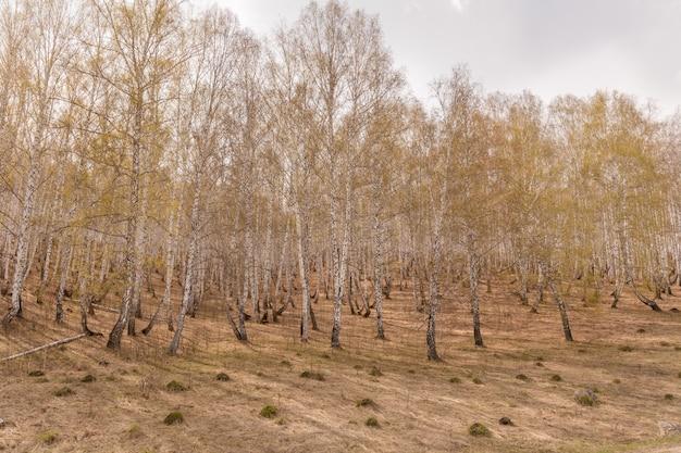 春に新緑の葉を持つ白樺の木。ロシア