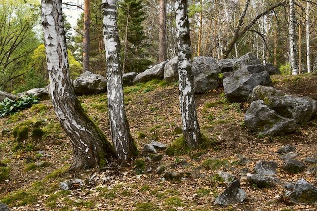 고산 미끄럼틀의 경사면에 있는 자작나무 줄기가 숲에 큰 돌을 가진 자작나무