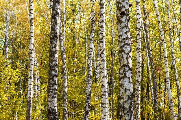 秋の森の白樺の幹
