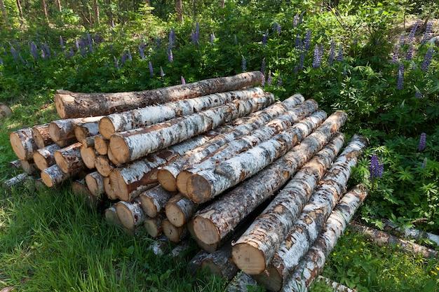 木工用の白樺の幹の準備時間、森の中の白樺の木の幹の収穫