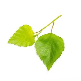 Березовая ветка с зелеными листьями молодой весны на белом фоне. весенняя природа. рост растений весной.
