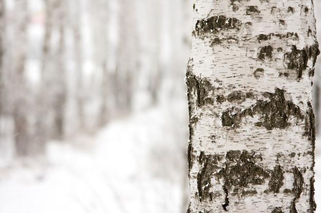 Birch in winter forest