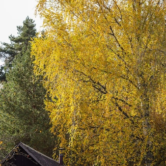 Birch with bright yellow leaves green pines and a village house roof autumn background
