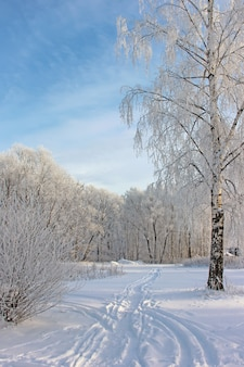 The birches covered with hoarfrost against the blue sky. winter landscape.