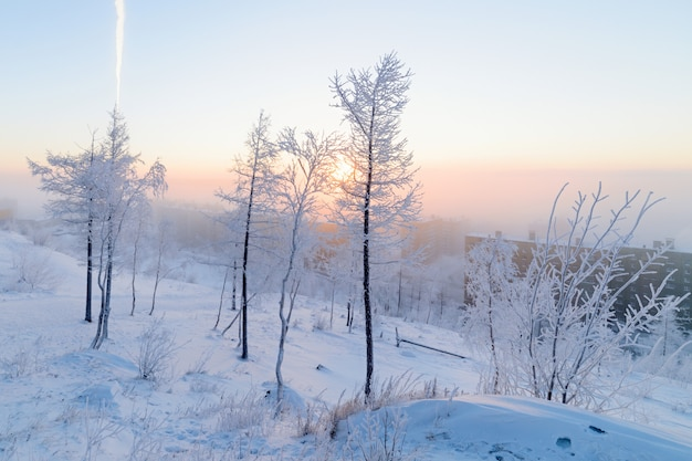 Birches in hoarfrost, morning, frosty dawn in the arctic tundra.