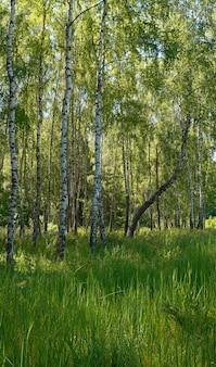 下に背の高い草がある夏の森の白樺。 3枚の合成画像。