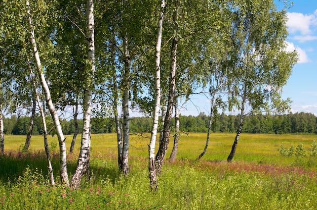 Березы в летнем лесу с высокой травой внизу.