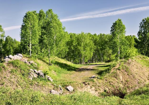 봄에 언덕에 자작나무
