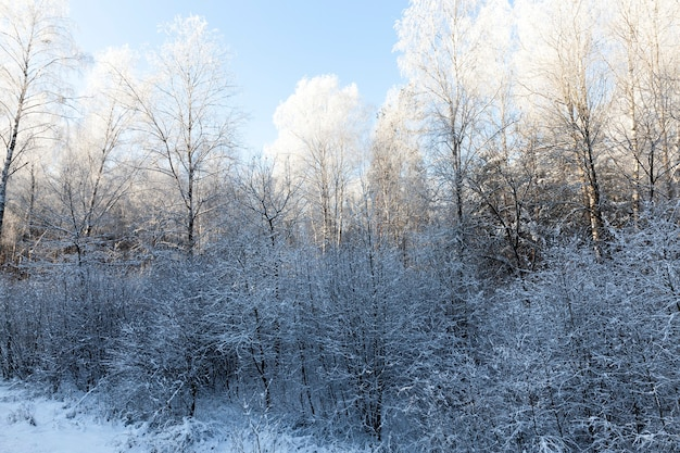 Birches and other trees growing in a mixed forest. landscape in the winter season after a snowfall. morning time, on the tops of trees a white frost, shining through the bright sun