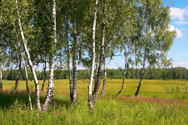 Birches in summer forest with tall grasses below.