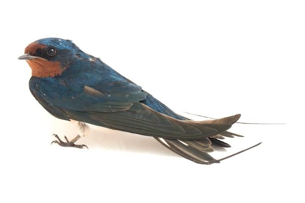 Птица сарай ласточка свифт на белом фоне