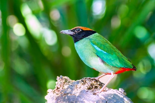 Птица, красивая с капюшоном питта (pitta sordida) стоять в природе