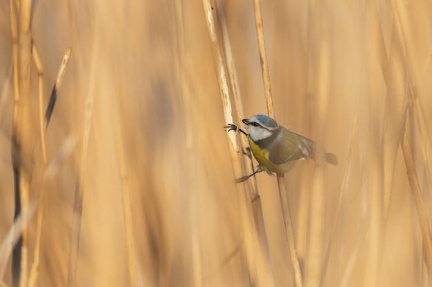 Птица лазоревка держится за камыши. cyanistes caeruleus.