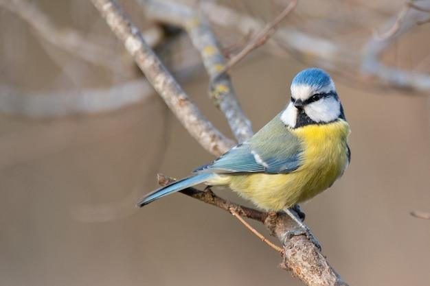 Птица лазоревка сидит на палке. cyanistes caeruleus.