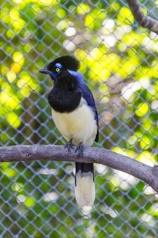 Птица канкан ладья (гральха канкан) стоит на ветке на открытом воздухе в рио-де-жанейро, бразилия.