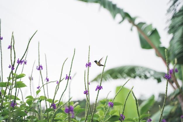 熱帯の花から花粉を捕まえる鳥。コスタリカ