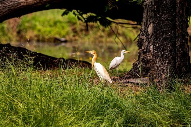野生の鳥アマサギbubulcuscoromandus
