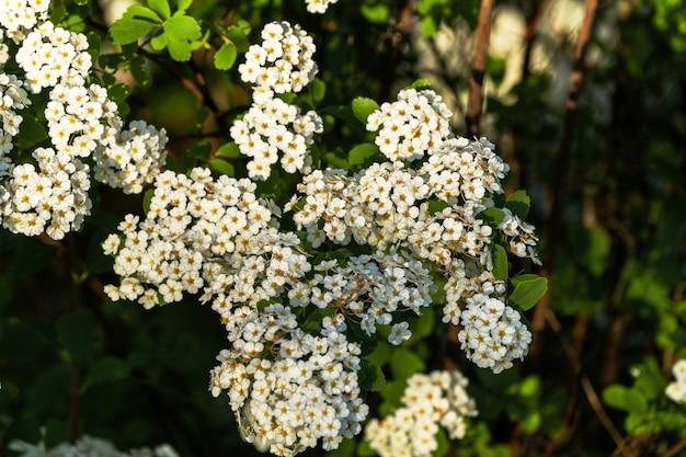Черемуха - это кустарник, цветущий ранней весной множеством мелких белых цветков в саду загородного дома.