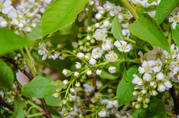 Вишневое дерево в цвету. крупный план цветущего дерева prunus avium с белыми цветочками. вид на цветущее черешневое дерево весной