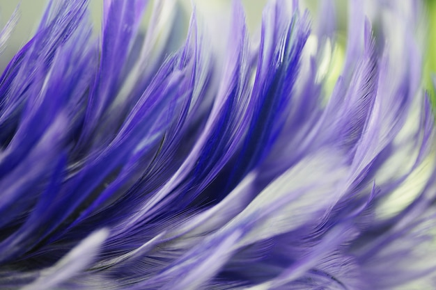 Bird and chicken feathers in soft and blur style for the background