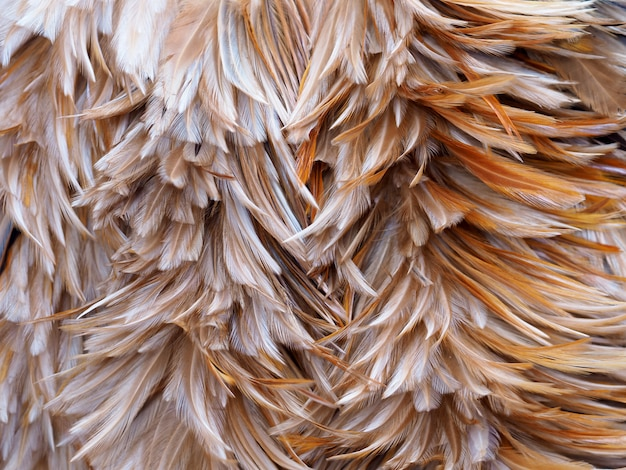 Bird chickens feather abstract and texture