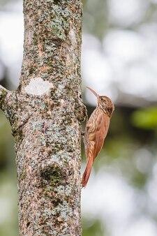 먹이를 찾아 나무 껍질을 오르는 새