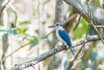 Bird (Collared kingfisher, White-collared kingfisher) blue color and white collar