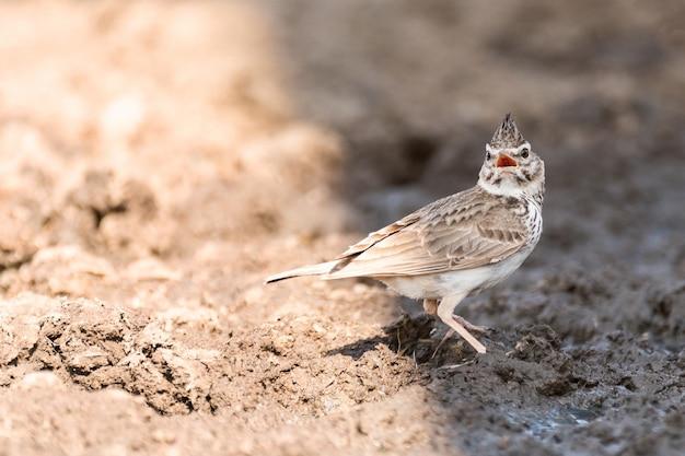 Птица обыкновенный хохлатый жаворонок galerida cristata с открытым клювом.