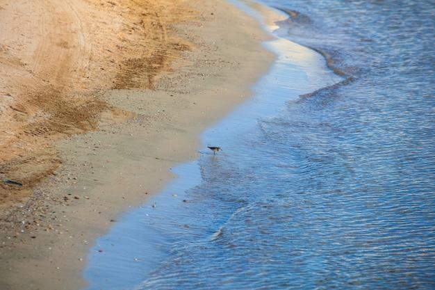 The bird common sandpiper drinking sea water