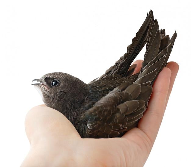 Птица (обыкновенный стремительный) в руке человека изолирована