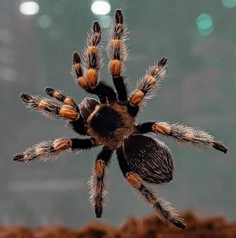 Bird-eating spider close-up. tarantul.