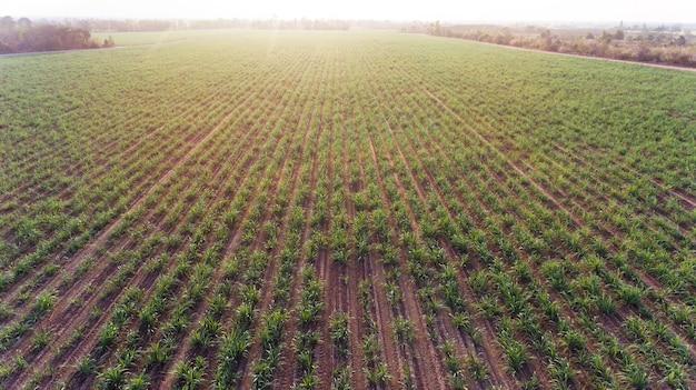 Bird eye view from drone, sugar farm field top view